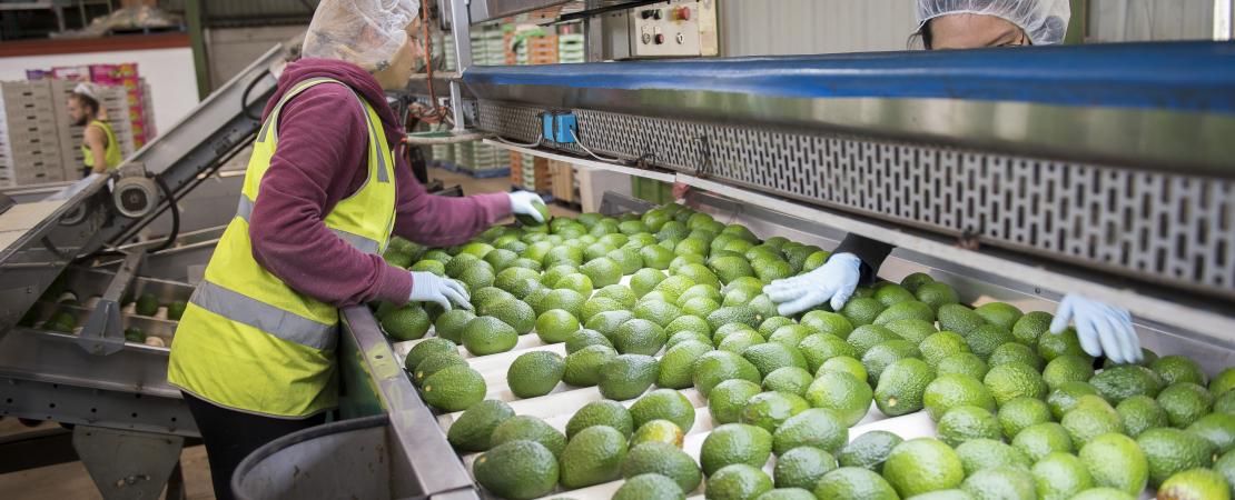 Packing avocados
